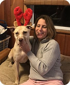 American Bulldog/Shepherd (Unknown Type) Mix Dog for adoption in Brattleboro, Vermont - Lady-See Video!
