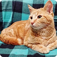 Adopt A Pet :: Tiger - Cannelton, IN