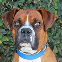 Adopt A Pet :: Elvis - Los Angeles, CA