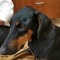 Adopt A Pet :: Lacie - Oceanside, CA