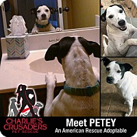 Adopt A Pet :: Petey - Spring City, PA