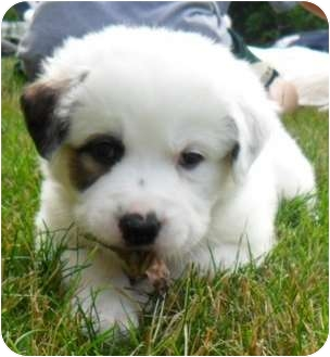Tyler Adopted Puppy Chesterland Oh St Bernard Great Pyrenees Mix