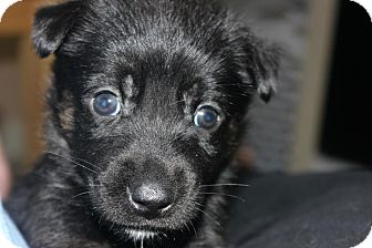 German Shepherd Dog/Labrador Retriever Mix Puppy for adoption in Miami, Florida - Belle