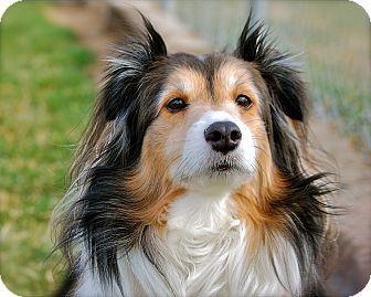 Sheltie, Shetland Sheepdog Mix Dog for adoption in Meridian, Idaho - Rocky