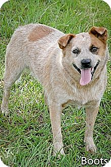 Cattle Dog Mix Dog for adoption in Jackson, Mississippi - Boots