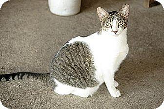 Domestic Shorthair Cat for adoption in Thibodaux, Louisiana - Aurora FE1-8761