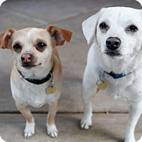 Adopt A Pet :: Scout - Studio City, CA