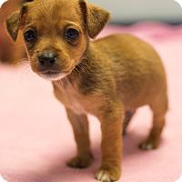 Adopt A Pet :: Rigatoni - $250 - Seneca, SC