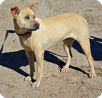 Shar Pei Mix Dog for adoption in Mountain Center, California - Fergie