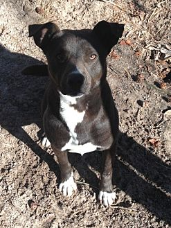 Terrier (Unknown Type, Medium)/Pit Bull Terrier Mix Dog for adoption in Pointblank, Texas - Houston