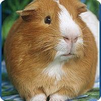 Adopt A Pet :: Beary Pigilow - Santa Barbara, CA