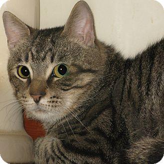 Domestic Shorthair Cat for adoption in Bedford, Virginia - Biff