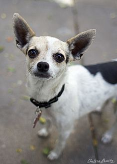 Chihuahua Mix Dog for adoption in Los Angeles, California - Goldie