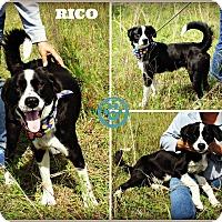 Adopt A Pet :: Rico - Kimberton, PA