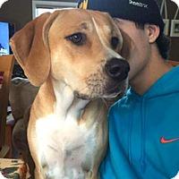 Adopt A Pet :: Cora - Canterbury, CT