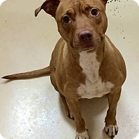 Pit Bull Terrier Mix Dog for adoption in Loudon, Tennessee - Loyalty