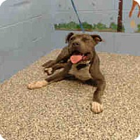 Pit Bull Terrier Dog for adoption in San Bernardino, California - URGENT ON 9/24  San Bernardino