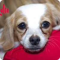 Adopt A Pet :: Lulu (in foster) - Scottsdale, AZ