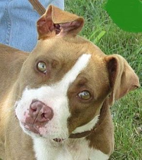 American Pit Bull Terrier Dog for adoption in Denton, Texas - AMBER