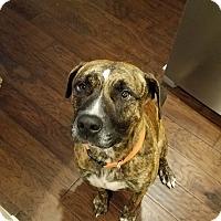 Boxer/American Staffordshire Terrier Mix Dog for adoption in Bogart, Georgia - Oscar