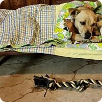 Adopt A Pet :: Ginger - Huntsville, AL