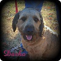 Adopt A Pet :: Dasha - Denver, NC