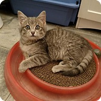 Domestic Shorthair Kitten for adoption in Fairfax, Virginia - We have kittens! (female)