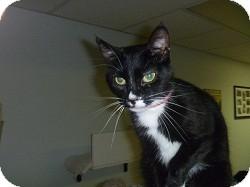 Domestic Shorthair Cat for adoption in Hamburg, New York - Rosa