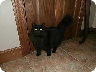 Domestic Longhair Cat for adoption in Dover, Ohio - Cora