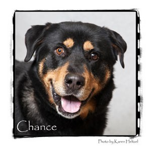 Rottweiler Mix Dog for adoption in Warren, Pennsylvania - Chance