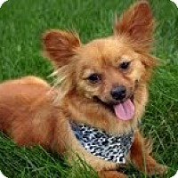 Adopt A Pet :: Lola - Shawnee Mission, KS