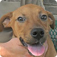 Adopt A Pet :: Kaiser - white settlment, TX