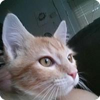 Adopt A Pet :: Lil Fox - Walla Walla, WA
