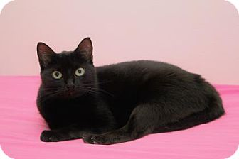 Domestic Shorthair Cat for adoption in Venice, Florida - Hatty