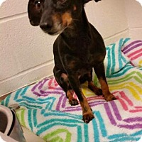 Dachshund/Chihuahua Mix Dog for adoption in Pearland, Texas - Raven