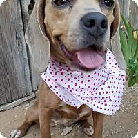 Adopt A Pet :: Poppy - Apple Valley, CA