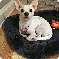 Adopt A Pet :: Coco Puff - Troy, MI