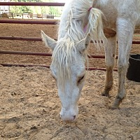 Quarterhorse Mix for adoption in Hitchcock, Texas - Suzie