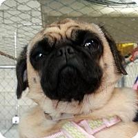 "Pug Dog for adoption in Gardena, California - Olive - ""Nala"""