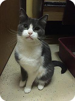Domestic Shorthair Cat for adoption in Blasdell, New York - Heather