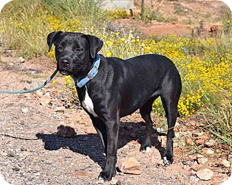 Labrador Retriever Mix Dog for adoption in Sierra Vista, Arizona - Marley