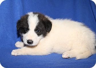 Great Pyrenees/Golden Retriever Mix Puppy for adoption in Orland Park, Illinois - BM2