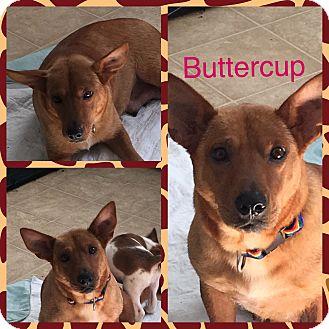 Dachshund/Corgi Mix Dog for adoption in Oxford, Connecticut - Buttercup