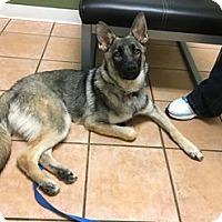 Adopt A Pet :: Zuba - Morrisville, NC