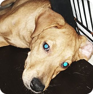 Labrador Retriever Mix Puppy for adoption in Phoenix, Arizona - Karol