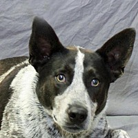 Australian Cattle Dog Dog for adoption in Modesto, California - Zeke