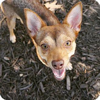 Chihuahua Mix Dog for adoption in Cedar Creek, Texas - Audrey