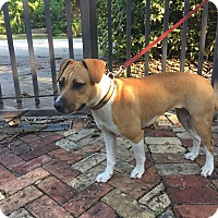 Jack Russell Terrier Mix Dog for adoption in Homestead, Florida - SHEA
