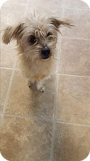 Terrier (Unknown Type, Small) Mix Dog for adoption in Bryan, Ohio - ralphie