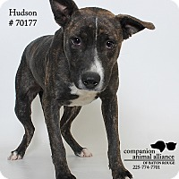 Adopt A Pet :: Hudson - Baton Rouge, LA